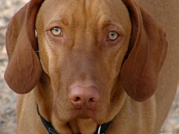 Tuco, a happy and friendly Hungarian Vizsla dog